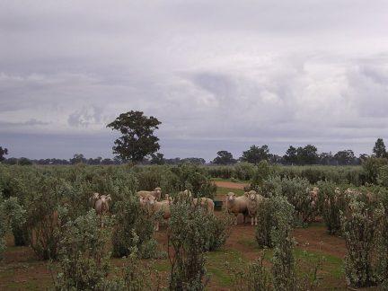 Saltbush Lamb