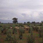 Genuine Australian Saltbush Lamb
