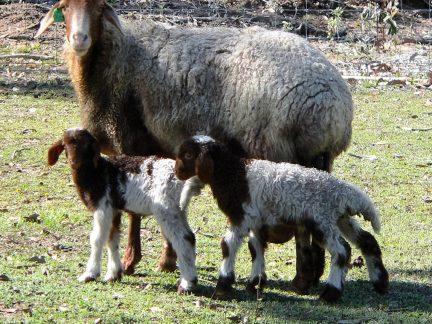 Awassi Lamb