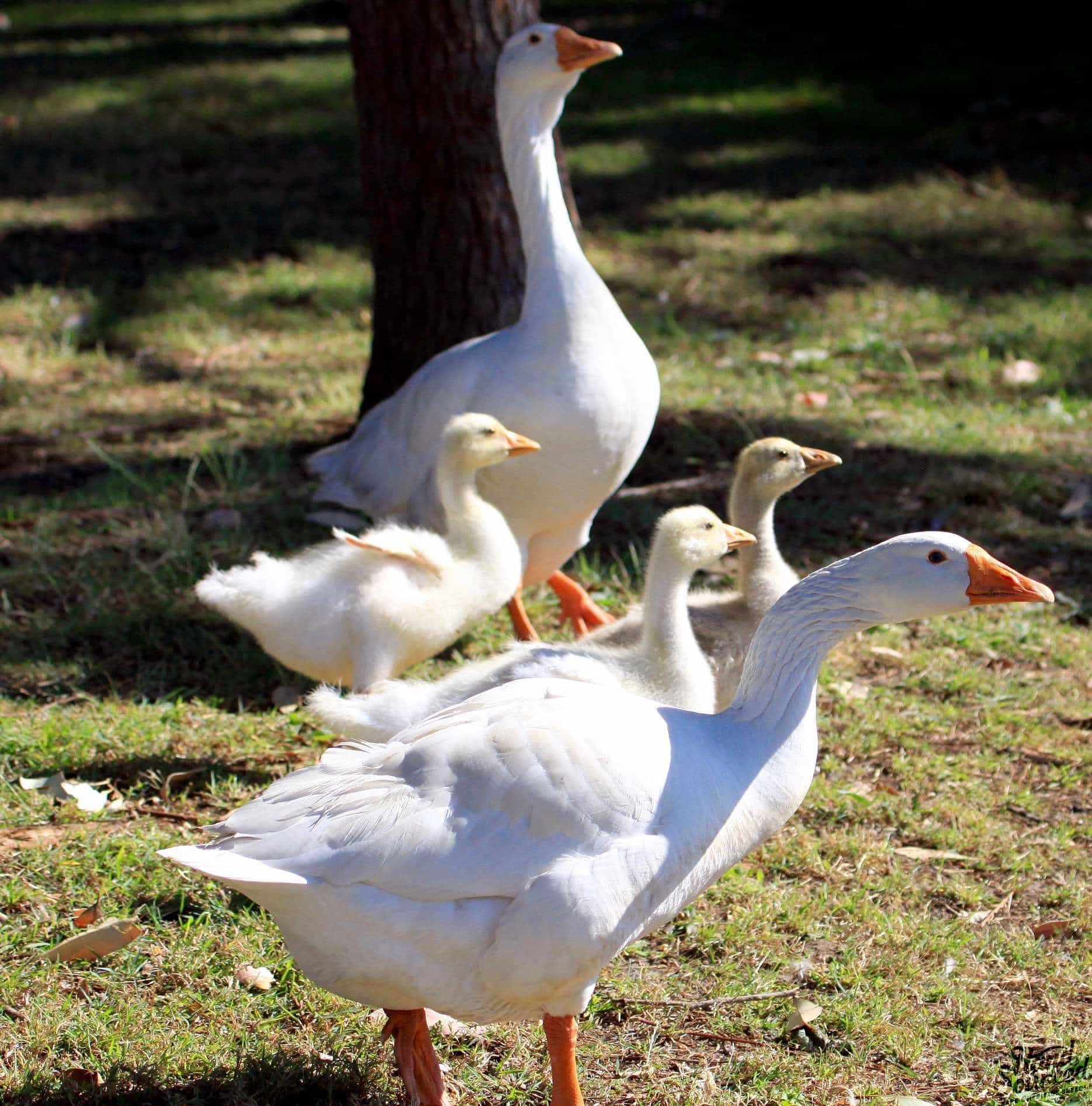 Ebden Cross Geese Hand Sourced