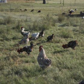 Sommerlad Poultry