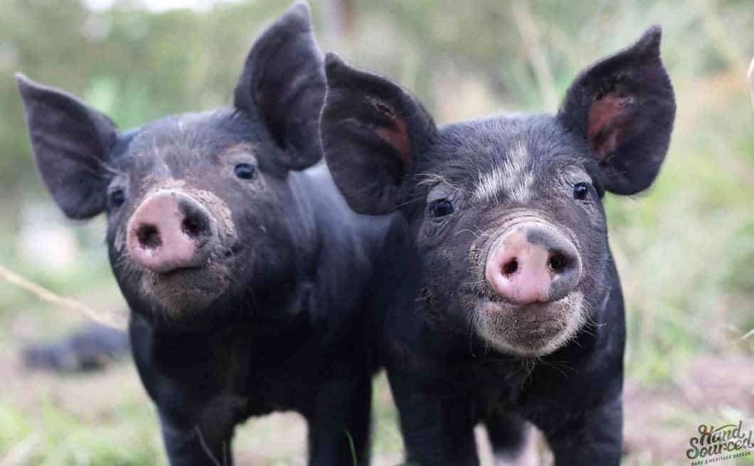 Buy Berkshire Pork Brisbane