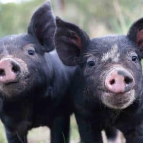 Buy Berkshire Pork Brisbane