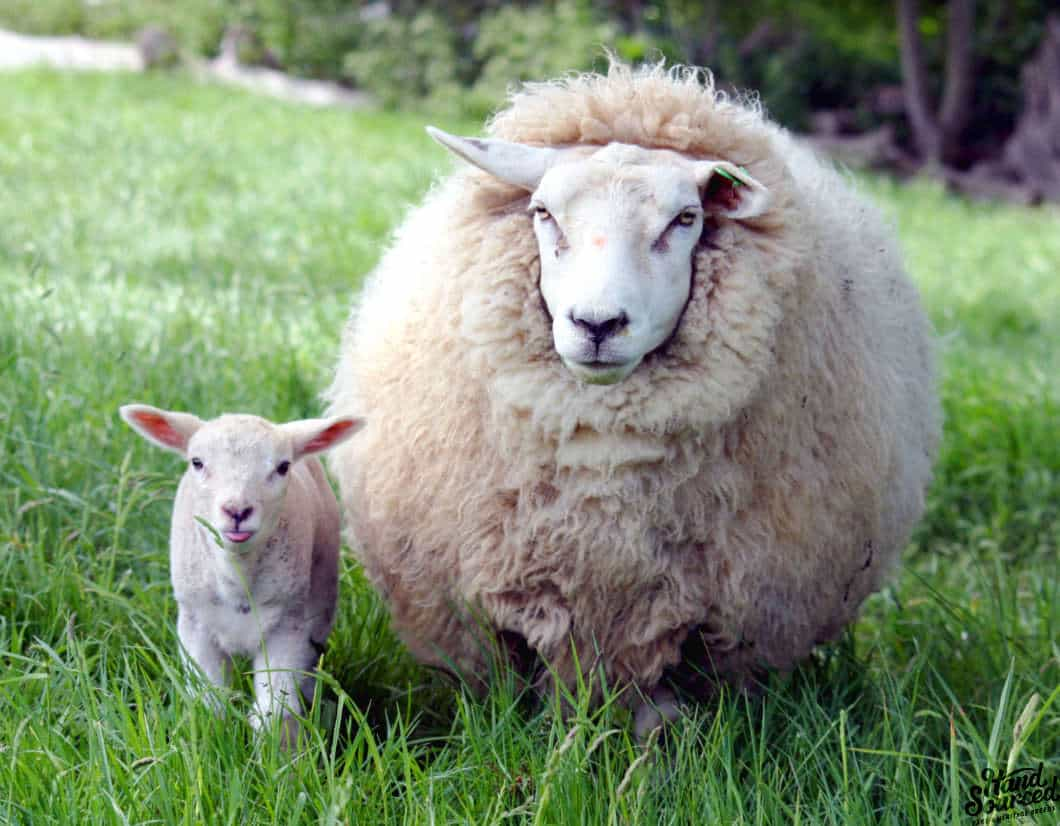Image result for lamb