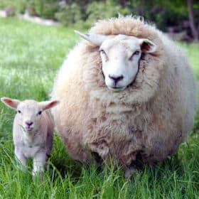 Buy mutton in Brisbane at Hand Sourced