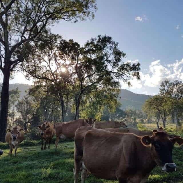 Buy pastured raised milk fed ethical rose veal Brisbane